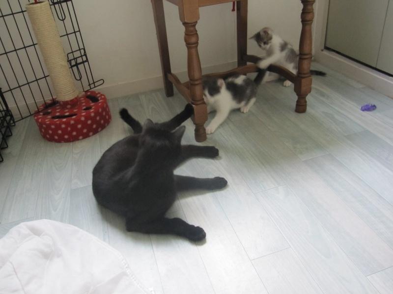JOEY, chaton européen gris et blanc, né le 30/03/2014 Img_0115