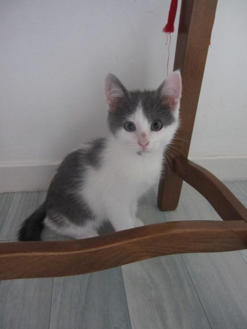JOEY, chaton européen gris et blanc, né le 30/03/2014 Img_0116