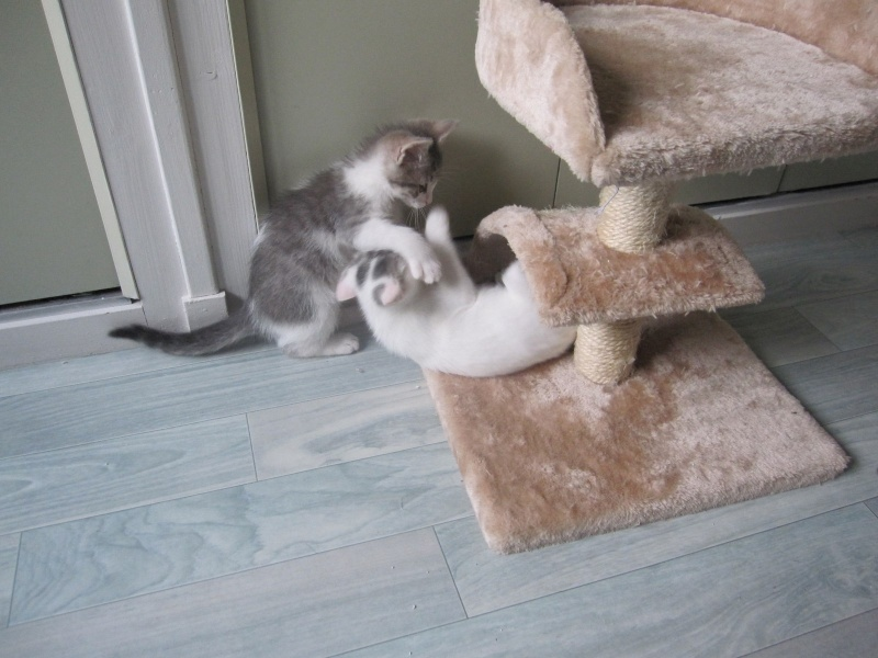 JOEY, chaton européen gris et blanc, né le 30/03/2014 Img_0117