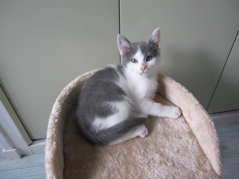 JOEY, chaton européen gris et blanc, né le 30/03/2014 Img_0118