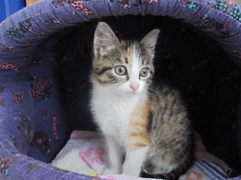 JOANNE, chatonne européenne tricolore, née le 01/04/2014 Img_0121
