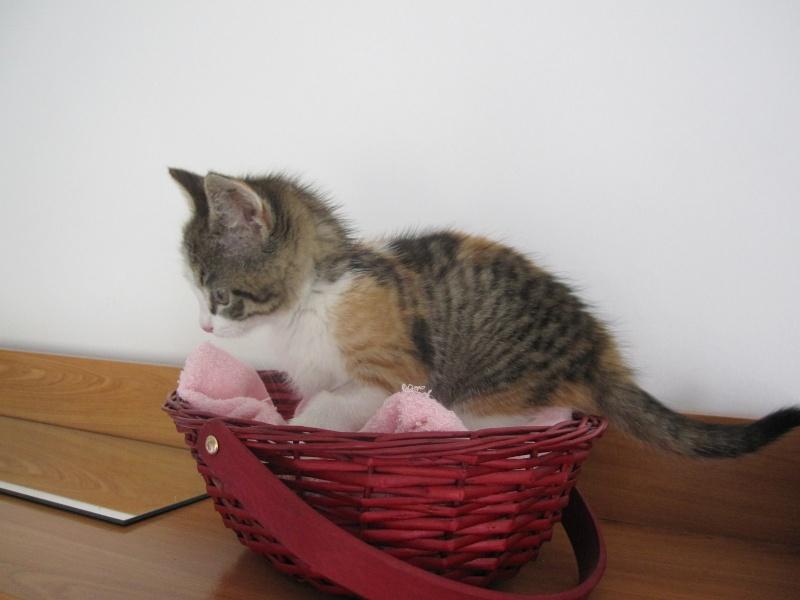 JOANNE, chatonne européenne tricolore, née le 01/04/2014 Img_0124
