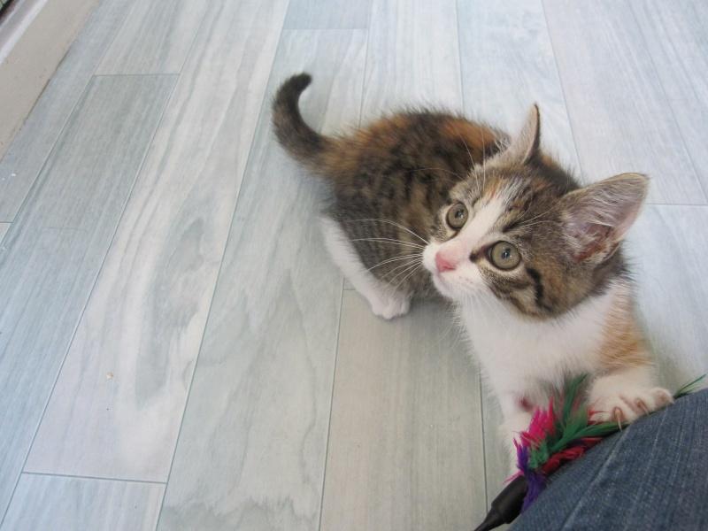 JOANNE, chatonne européenne tricolore, née le 01/04/2014 Img_0126