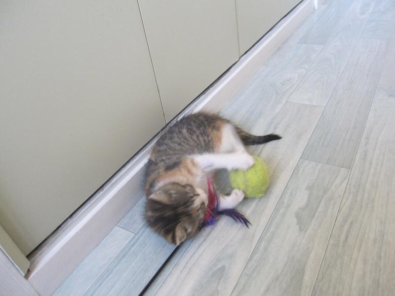 JOANNE, chatonne européenne tricolore, née le 01/04/2014 Img_0128