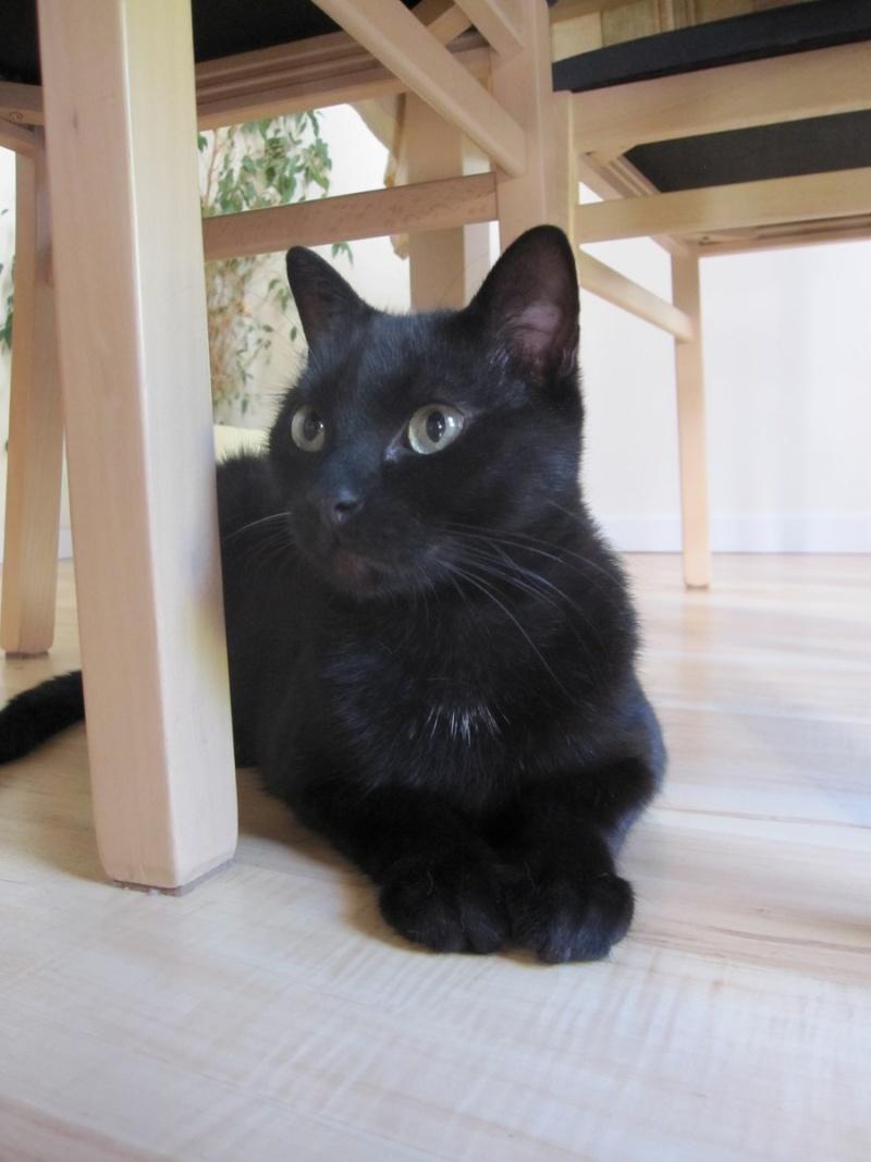 INZ0, chat européen, robe noire, né le 01/09/2013 Img_0132
