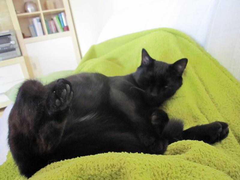 INZ0, chat européen, robe noire, né le 01/09/2013 Img_0148