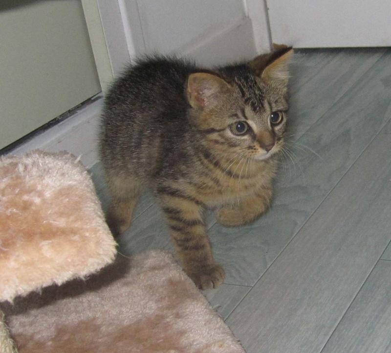 Jimmy, chaton mâle brown tabby né le 23/05/2014 Img_0215