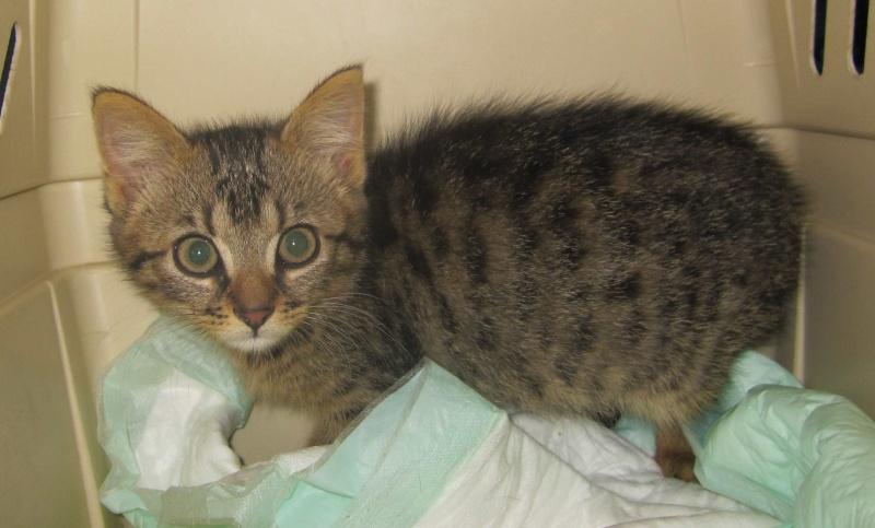 Jimmy, chaton mâle brown tabby né le 23/05/2014 Img_0216