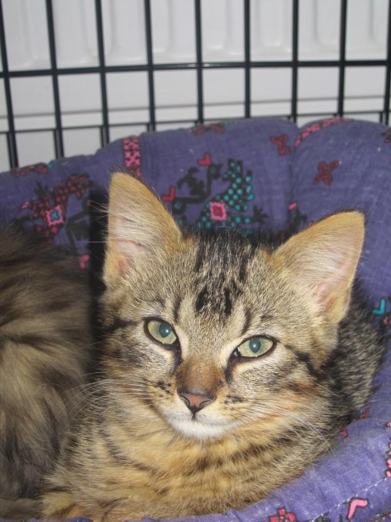 Jimmy, chaton mâle brown tabby né le 23/05/2014 Img_0218