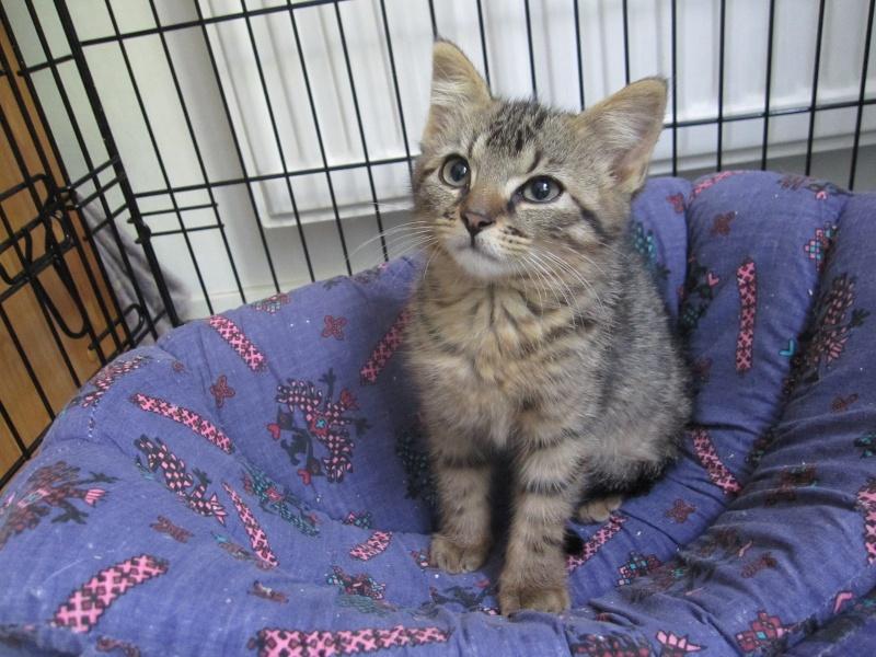 Jimmy, chaton mâle brown tabby né le 23/05/2014 Img_0219