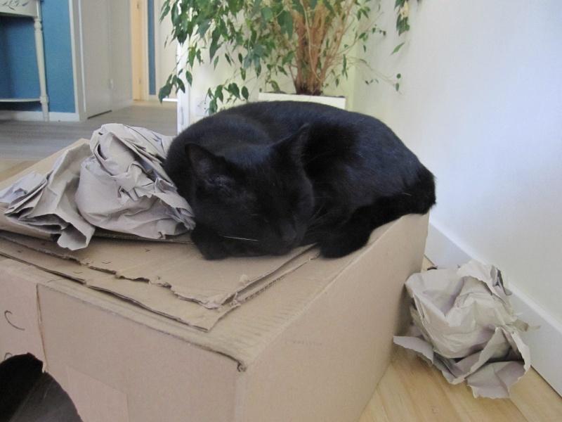 INZ0, chat européen, robe noire, né le 01/09/2013 Img_0223