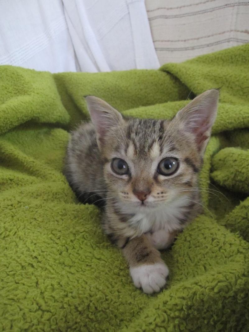 Junon, chatonne européenne tigrée et blanche, née le 19/06/14 Img_0231