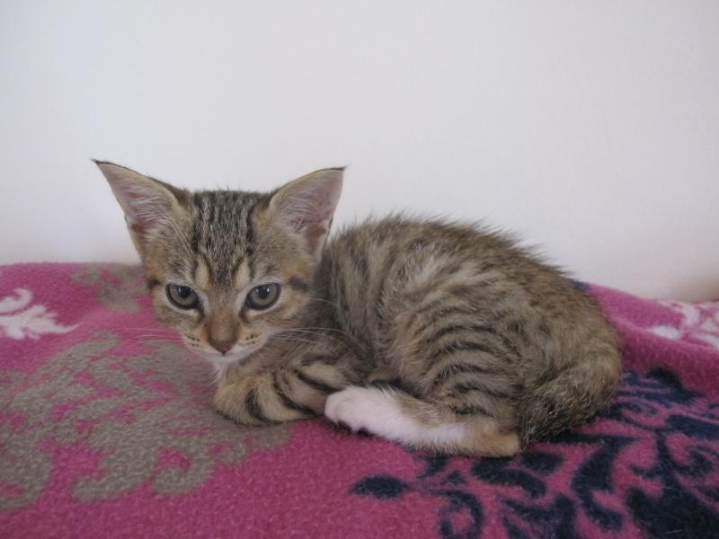 Junon, chatonne européenne tigrée et blanche, née le 19/06/14 Img_0232