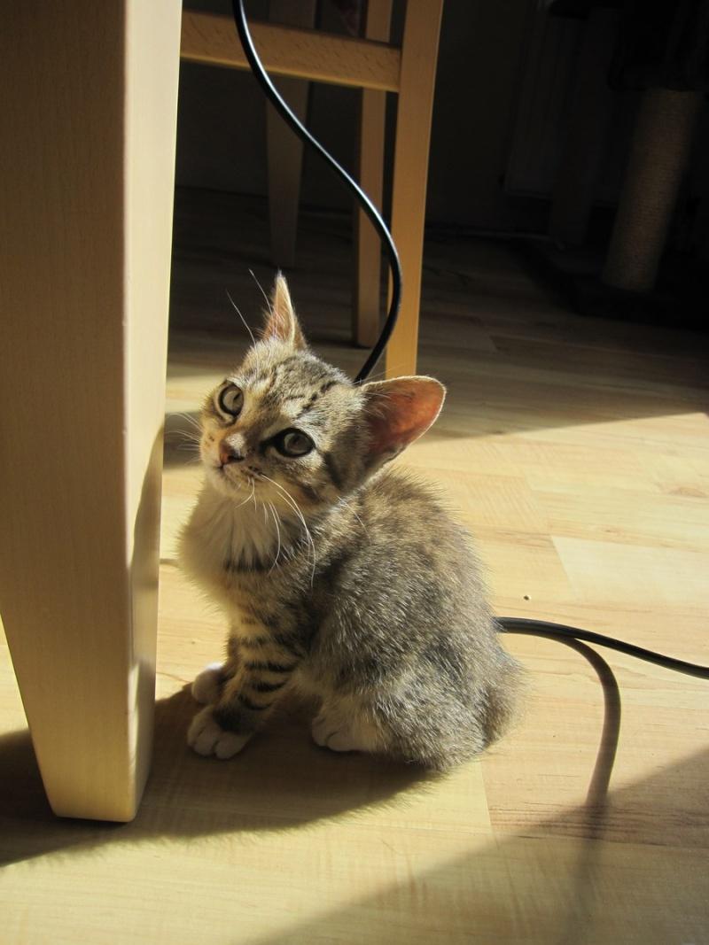 Junon, chatonne européenne tigrée et blanche, née le 19/06/14 Img_0314