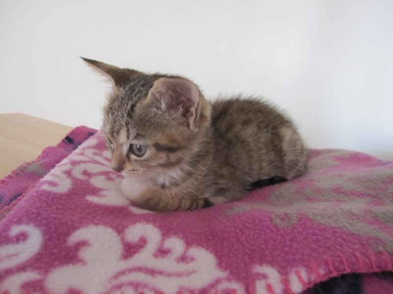 Junon, chatonne européenne tigrée et blanche, née le 19/06/14 Img_0315