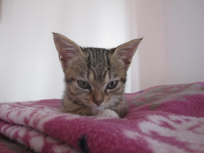 Junon, chatonne européenne tigrée et blanche, née le 19/06/14 Img_0316