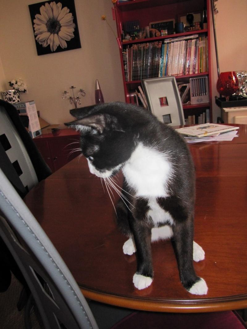 ILARIO, chat européen mâle noir & blanc, né en 2013 Img_0320