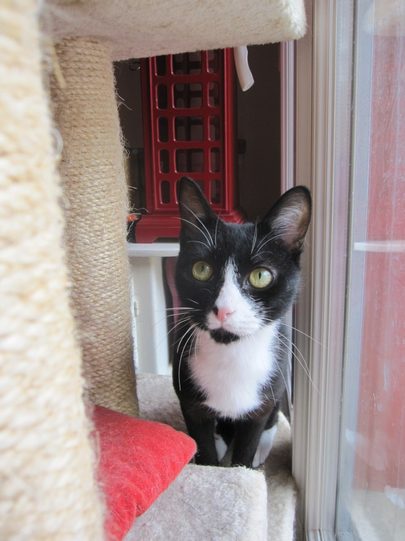 ILARIO, chat européen mâle noir & blanc, né en 2013 Img_0321