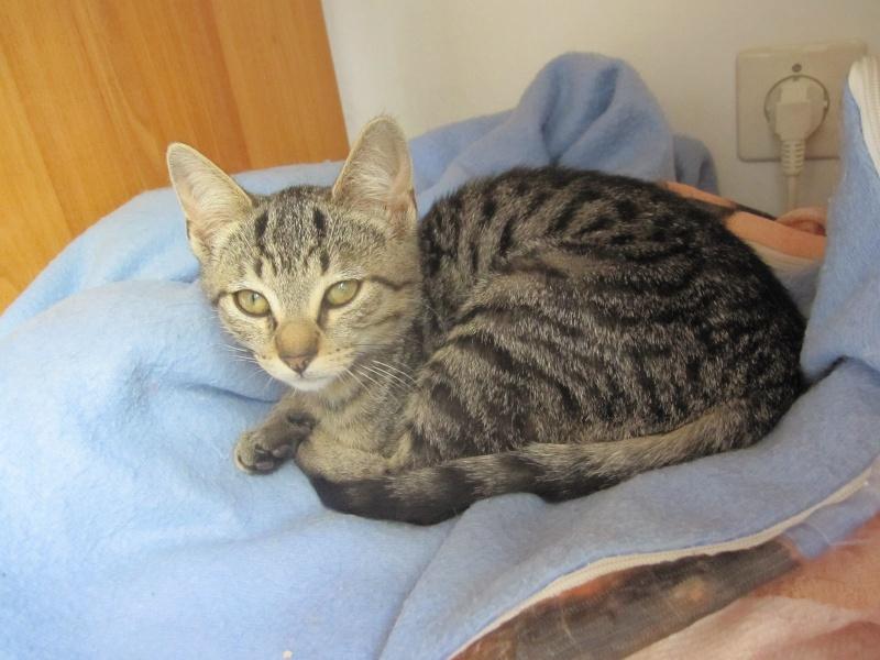 Jewel, chatonne européenne tigrée, née le 25/05/14 Img_0323