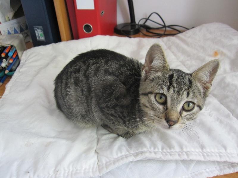 Jewel, chatonne européenne tigrée, née le 25/05/14 Img_0324