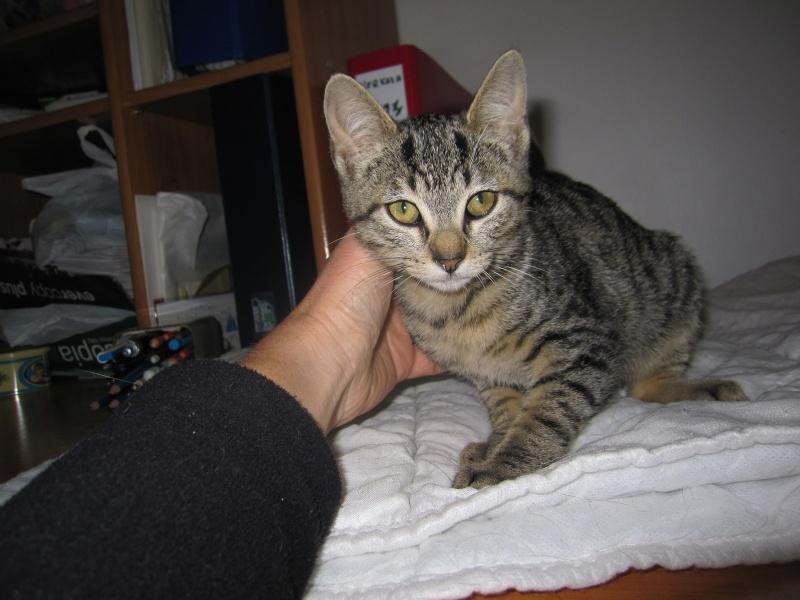 Jewel, chatonne européenne tigrée, née le 25/05/14 Img_0325