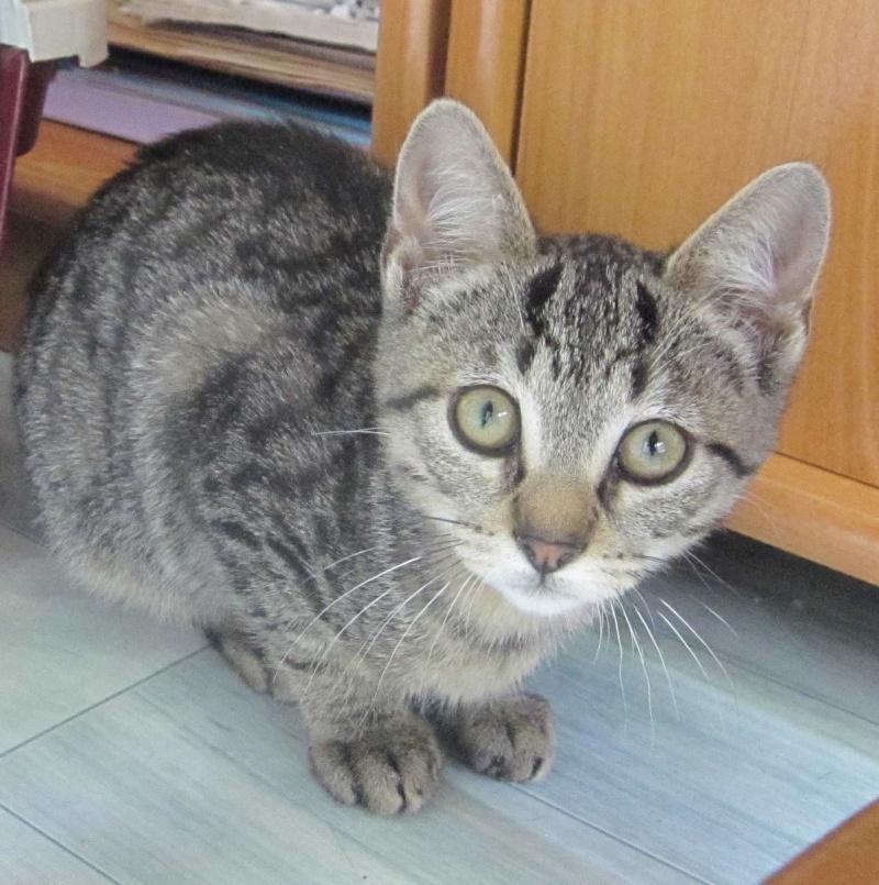 Jewel, chatonne européenne tigrée, née le 25/05/14 Img_0327