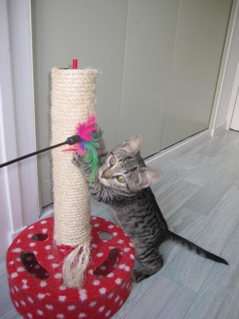Jewel, chatonne européenne tigrée, née le 25/05/14 Img_0328