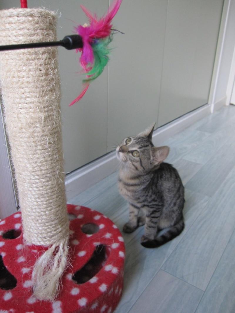 Jewel, chatonne européenne tigrée, née le 25/05/14 Img_0331