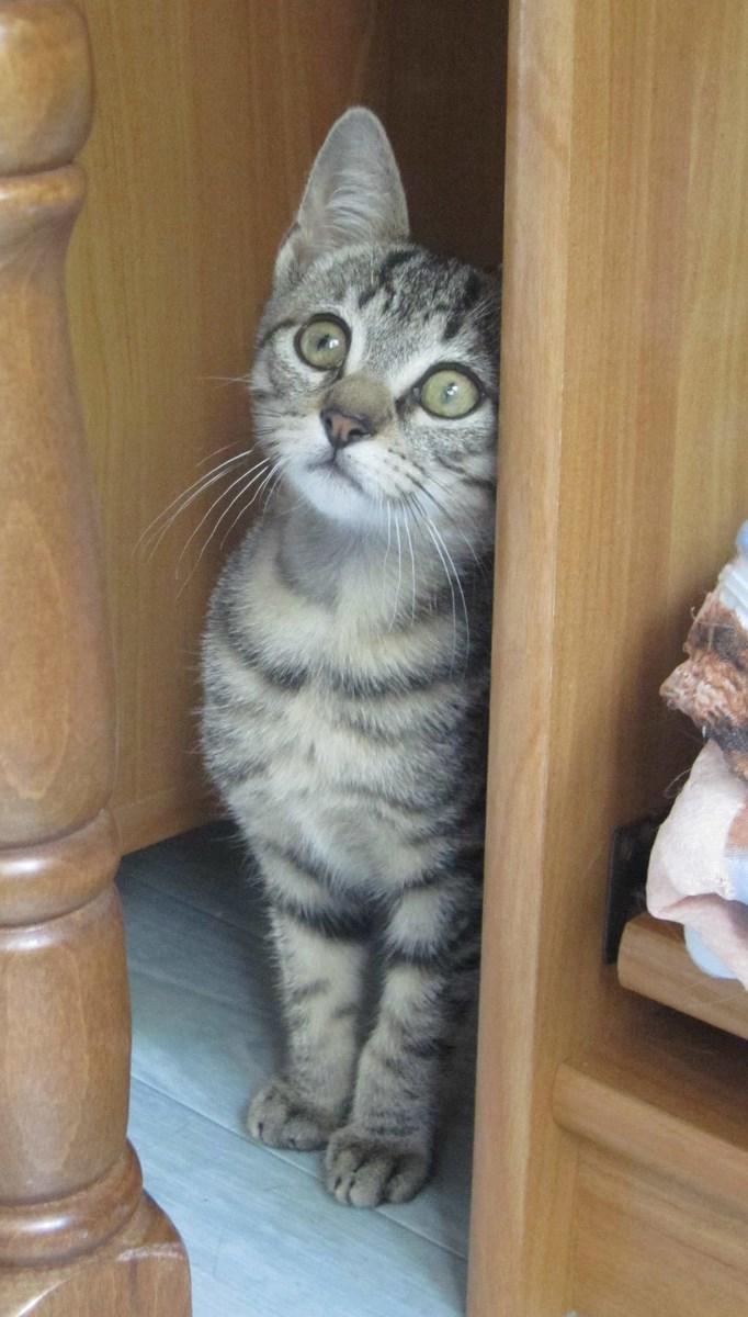 Jewel, chatonne européenne tigrée, née le 25/05/14 Img_0332