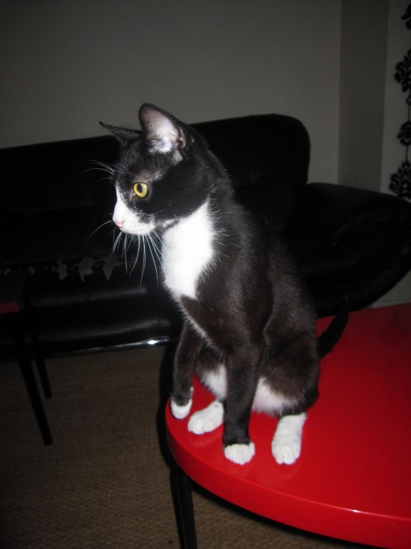 ILARIO, chat européen mâle noir & blanc, né en 2013 Img_0410