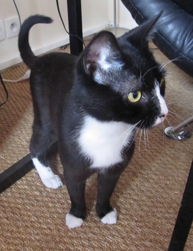 ILARIO, chat européen mâle noir & blanc, né en 2013 Img_0411