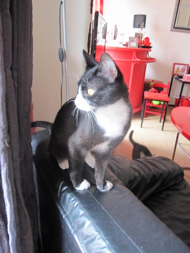ILARIO, chat européen mâle noir & blanc, né en 2013 Img_0412
