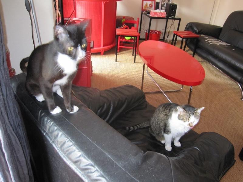 ILARIO, chat européen mâle noir & blanc, né en 2013 Img_0413