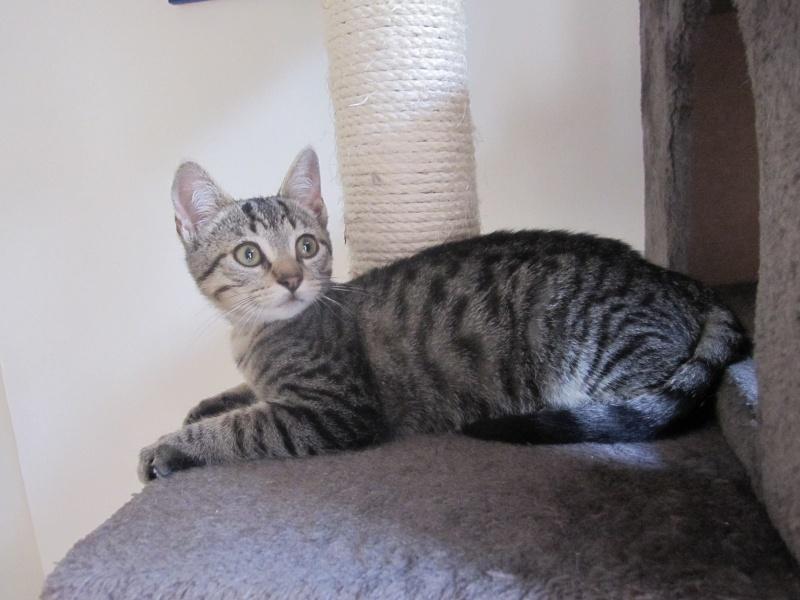 Jewel, chatonne européenne tigrée, née le 25/05/14 Img_0416