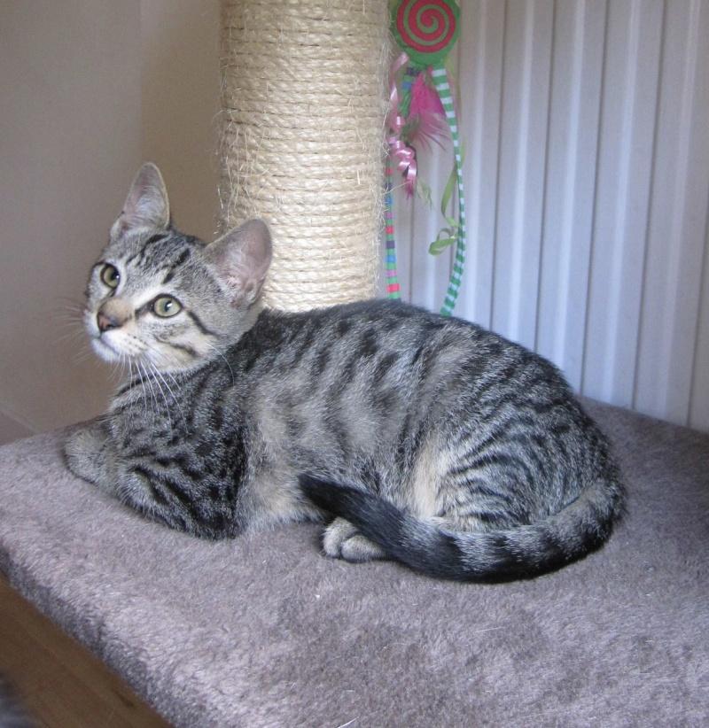 Jewel, chatonne européenne tigrée, née le 25/05/14 Img_0417