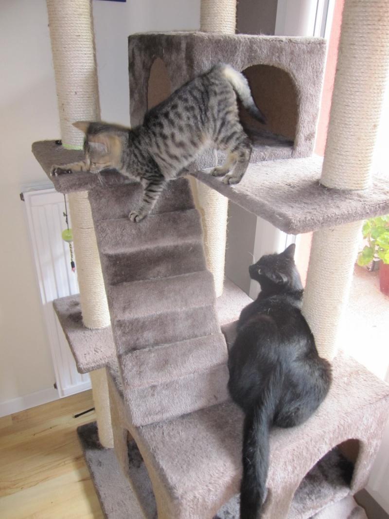 Jewel, chatonne européenne tigrée, née le 25/05/14 Img_0419