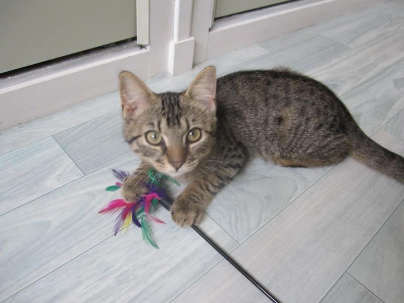 Jimmy, chaton mâle brown tabby né le 23/05/2014 Img_0420