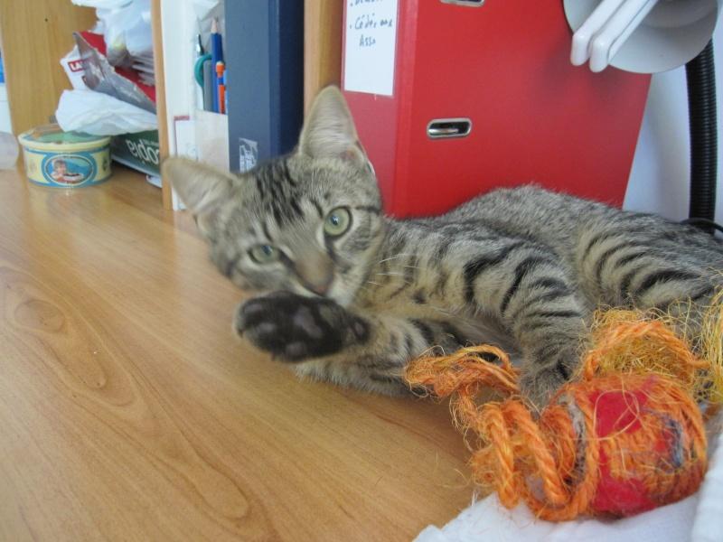 Jimmy, chaton mâle brown tabby né le 23/05/2014 Img_0423