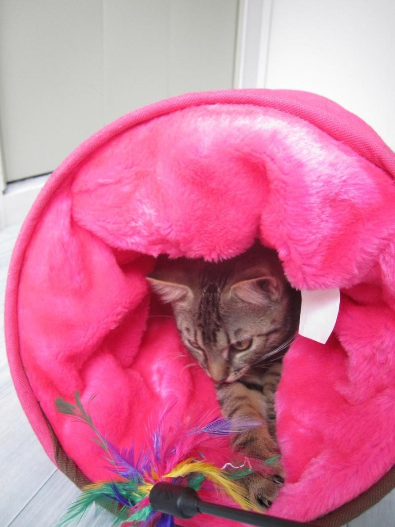 Jimmy, chaton mâle brown tabby né le 23/05/2014 Img_0424