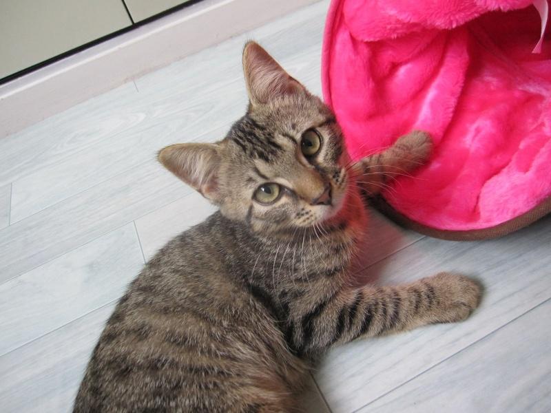 Jimmy, chaton mâle brown tabby né le 23/05/2014 Img_0425