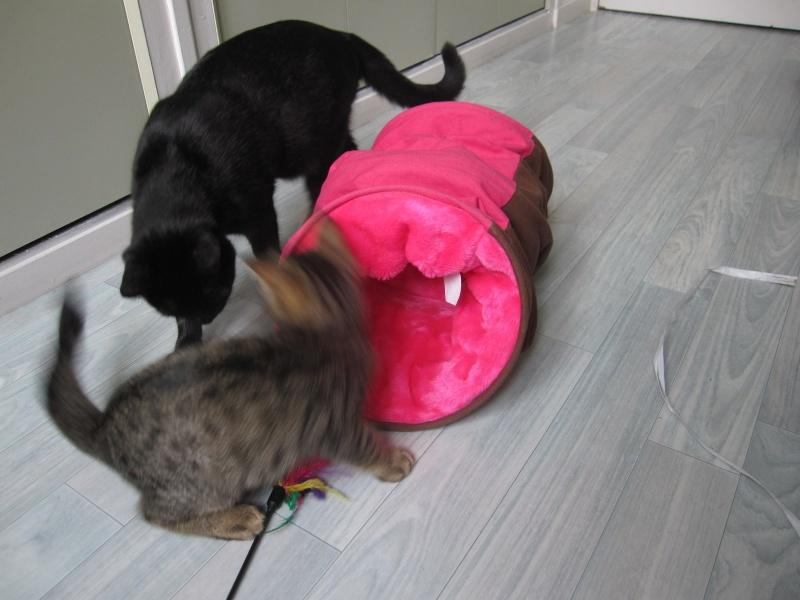 Jimmy, chaton mâle brown tabby né le 23/05/2014 Img_0427