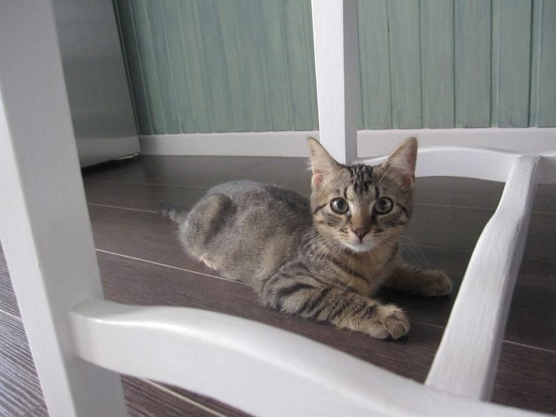 Jimmy, chaton mâle brown tabby né le 23/05/2014 Img_0429