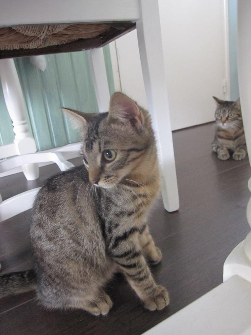 Jimmy, chaton mâle brown tabby né le 23/05/2014 Img_0430