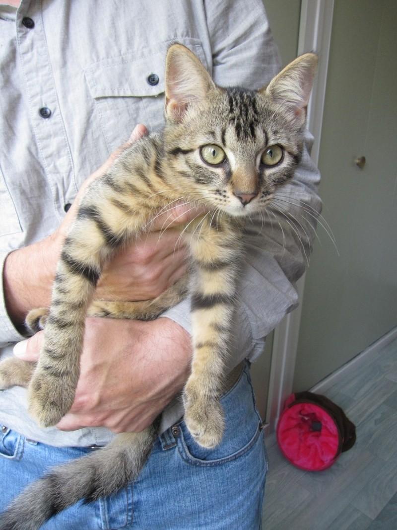 Jimmy, chaton mâle brown tabby né le 23/05/2014 Img_0431