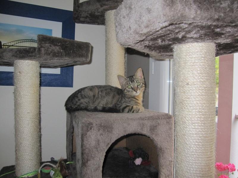 Jimmy, chaton mâle brown tabby né le 23/05/2014 Img_0437