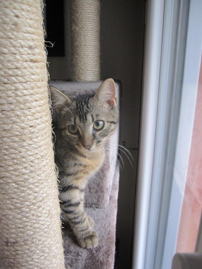 Jimmy, chaton mâle brown tabby né le 23/05/2014 Img_0438