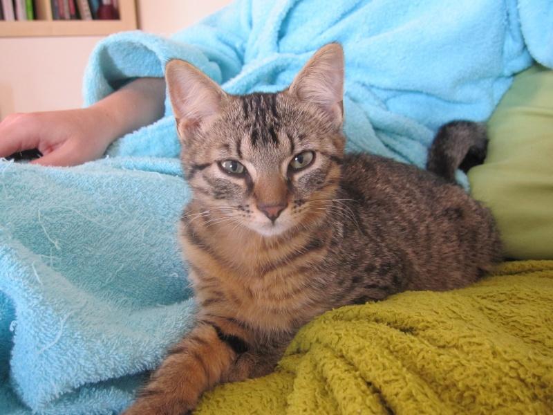 Jimmy, chaton mâle brown tabby né le 23/05/2014 Img_0440