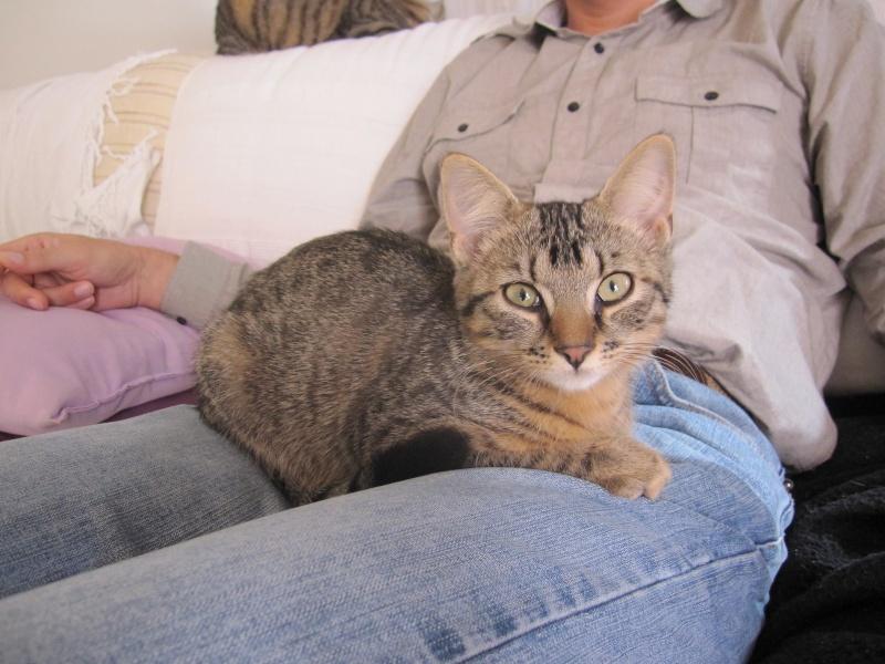 Jimmy, chaton mâle brown tabby né le 23/05/2014 Img_0441