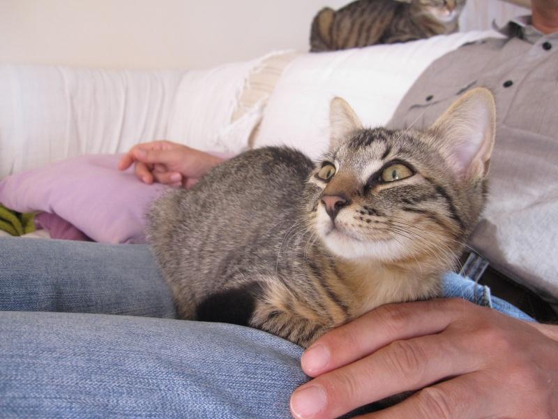 Jimmy, chaton mâle brown tabby né le 23/05/2014 Img_0442