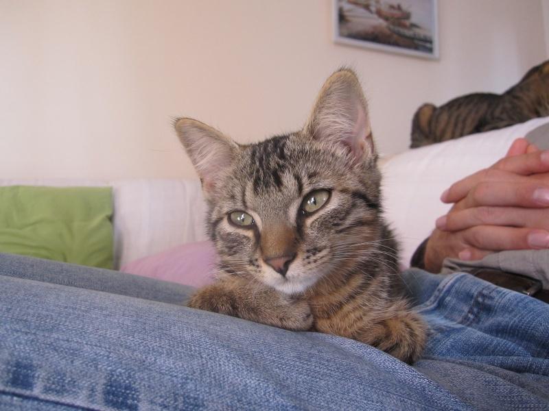 Jimmy, chaton mâle brown tabby né le 23/05/2014 Img_0443